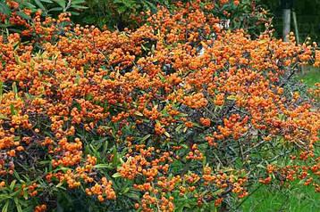 Піраканта вузьколиста 3 річна, Пираканта узколистная, Pyracantha angustifolia , фото 2