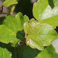 Виноград дівочий тризагострений 'Вічії' С3 60/+, фото 1