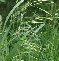 Семена травы Овсяница