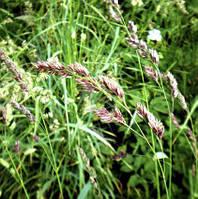 Семена травы Ежа