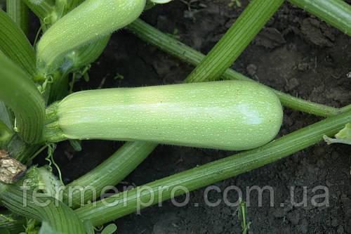 Семена кабачка Сцилли F1 \ Scilly 500 семян Seminis