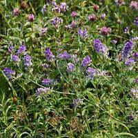 Семена травы Люцерна