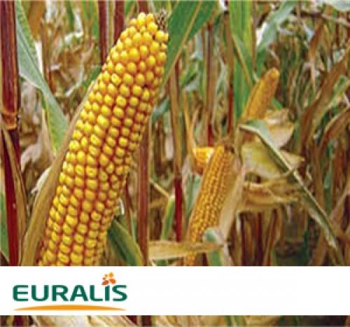 Гибрид кукурузы ЕС Кубус (Франция) Euralis