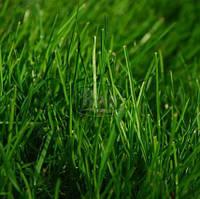 Семена травы Райграс