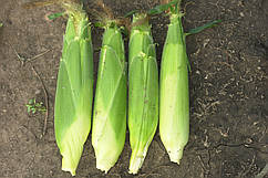 Семена кукурузы Сигнет F1 \ Signet F1 5000 семян Seminis