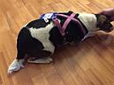 Шлея-петля для собак Премиум Софт Trixie М малиновая, фото 7