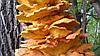 Латипурус (трутовик серно-желтый) в природе