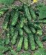 Семена огурцы Маринда F1 \ Marinda F1 1000 семян Seminis, фото 2