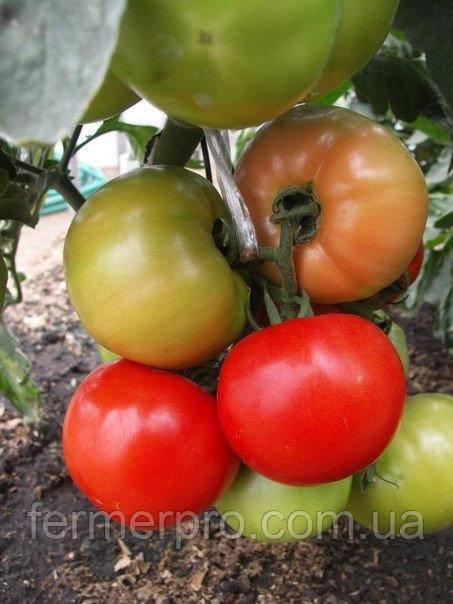 Семена Томата Флорида 47 F1 \ Florida 47 F1 1000 семян Seminis