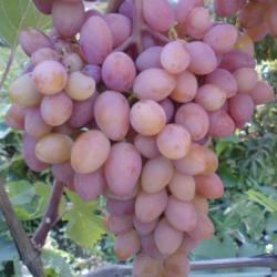 "Саженцы винограда ""Юбилей херсонского дачника"" ,2-х летний"