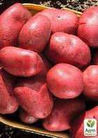 """Семенной среднепоздний картофель """"Фламенко"""" (на жарку, 1 репродукция) 1 кг"""