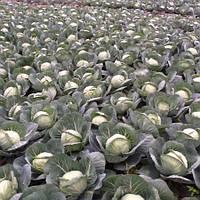 Семена капусты Лемма F1 \ Lemma F1 2500 калиброванных семян Rijk Zwaan