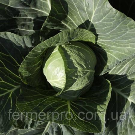 Семена капусты Силима F1 \ Cilema F1 Калиброванные семена 1000 семян Rijk Zwaan