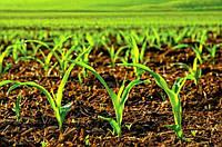 Оптимизация размещения растений кукурузы на поле