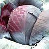 Семена капусты  Рексома F1 \ Rexoma F1 калиброванные 2500 семян Rijk Zwaan
