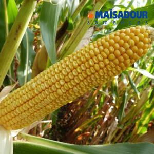 Гибрид кукурузы Mas 18.L Maisadour Semences, фото 2