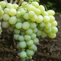 "Саженцы винограда ""Деметра"" 2-х летний."