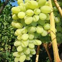 "Саженцы винограда ""Августин"" 2-х летний."