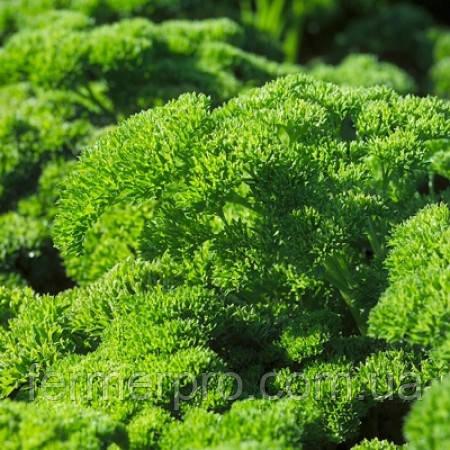 Семена петрушки Рина \ Rina  50 грамм Rijk Zwaan