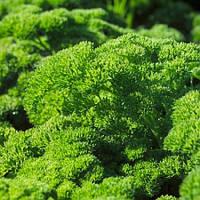 Семена петрушки Рина \ Rina  10 грамм Rijk Zwaan
