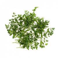 Семена петрушки Фелиция F1 \ Felicia F1  50 грамм Rijk Zwaan