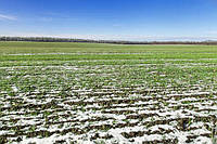Вторинна коренева система озимих зернових