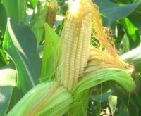 Шкідники кукурудзи