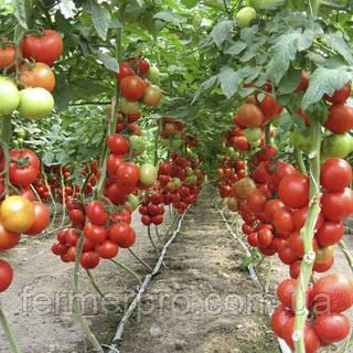 Семена томата Айвенго F1 \ Ivanhoe 100 семян Rijk Zwaan