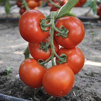 Семена томата Беллавиза F1 \  Belavisa F1 1000 семян Rijk Zwaan