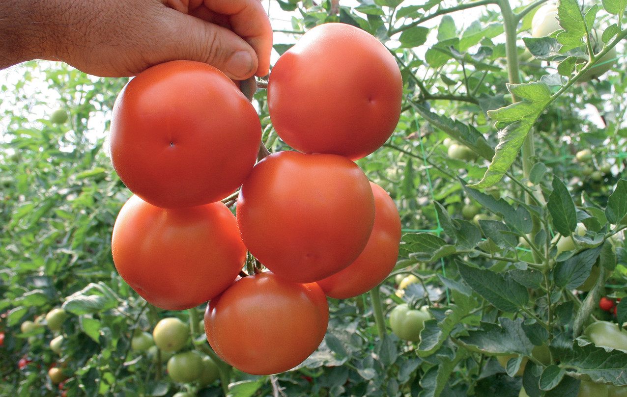 Семена томата Лилос F1 \ Lilos F1 100 семян  Rijk Zwaan