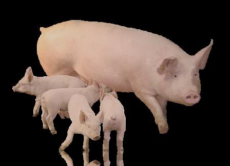 БВМД для свиноматок 15/10% (лактующих / супоросных)