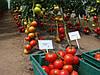 Семена томата Махитос F1 \ Mahitos F1 1000 семян Rijk Zwaan