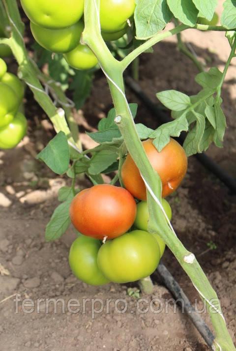 Семена томата Уманья F1 \ Umagna F1 1000 семян Rijk Zwaan
