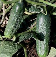 Семена огурца корнишон Караоке F1 1000 семян Rijk Zwaan