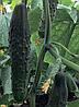 Семена огурца Данди F1 1000 семян Rijk Zwaan