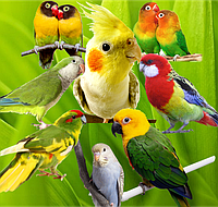 Мелкие и средние попугаи - Волнистые, Корелла, Какарик, Калита-Монах, Аратинга.