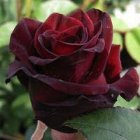 """Саженцы розы """"Блек Мэджик"""" чайно-гибридной. Крупномерной."""