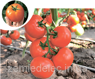 Семена томата Чинто F1 1000 семян Rijk Zwaan