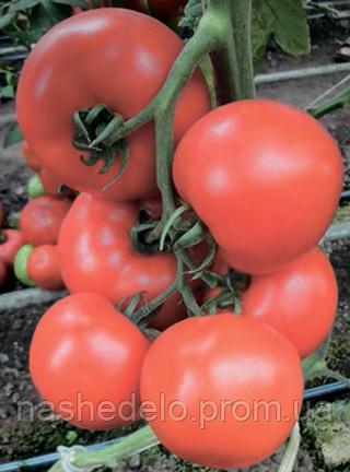 Семена томата Аттия F1 100 семян Rijk Zwaan