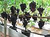 Саженцы винограда сорт Кодрянка