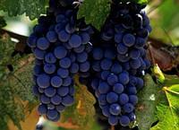 Саженцы винограда сорт Молдова