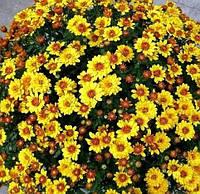 Хризантема  мультифлора ФАРИНИ, фото 1