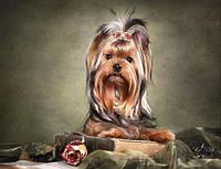 Собачка Йорк (полная выкладка)