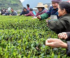 Семена черного чая Уишань
