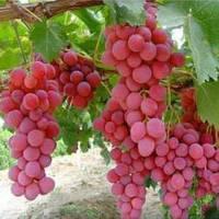 """Саженцы винограда """"Водограй"""" 2-х летний"""