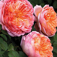 ТРОЯНДА Абрахам Дербі Abraham Darby English Rose Austin ВКС