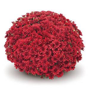 Саджанці Хризантема розсада Multiflora Boda Red касета (100шт)